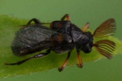 Beetle unidentified - Ripiphorus fasciatus-complex - male