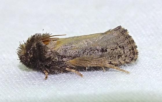 Small Moth - Acrolophus
