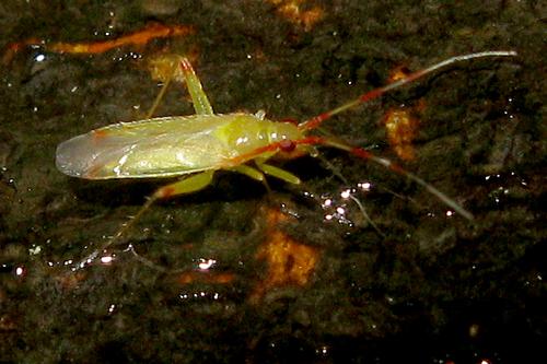 Plant Bug - Campyloneura virgula