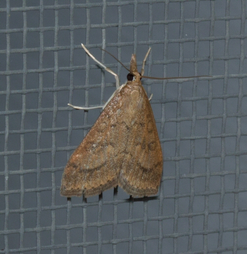 Crambid Snout Moth with circles on wings - Udea rubigalis