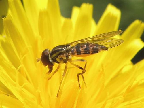 Unidentified Insect 117 - Toxomerus geminatus