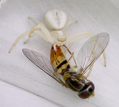 crab spider - Misumena vatia - female