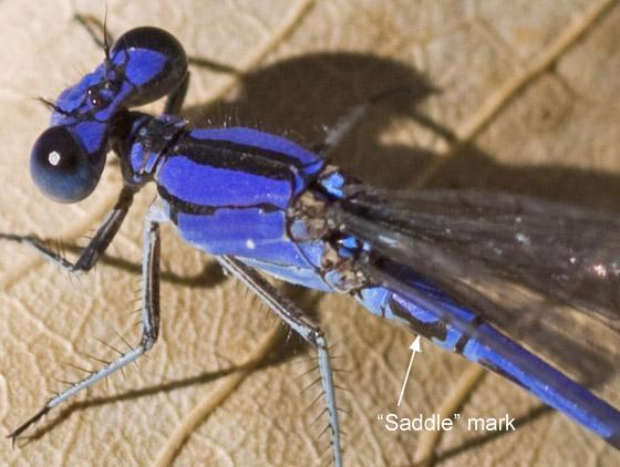 Spine-tipped Dancer in December - Argia extranea - male