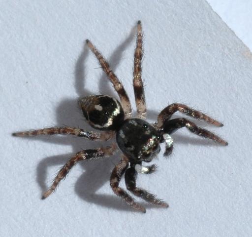 Jumping spider-Anasaitis canosa? - Anasaitis canosa