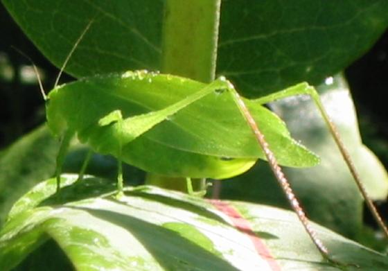 Rattler Round-winged Katydid - Amblycorypha rotundifolia - female