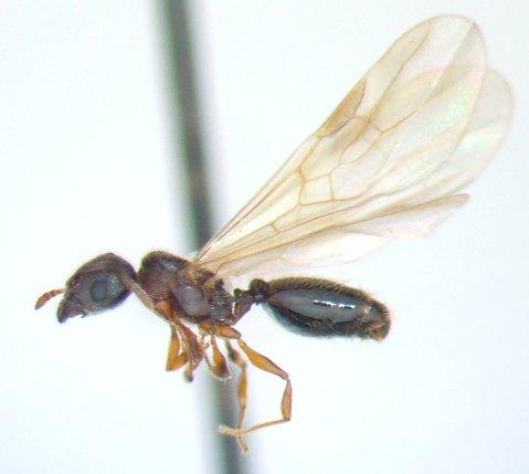 Ant 3 - Pheidole moerens