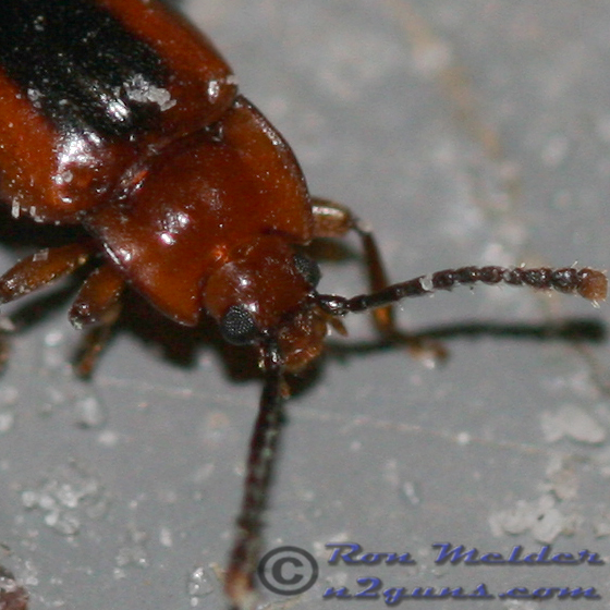 2008-08-16 Handsome Fungus Beetle - Aphorista vittata