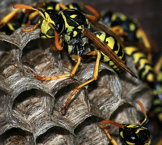 A Male in the Nest - Polistes dominula - male