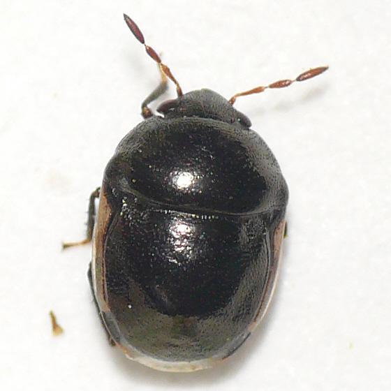Ebony bug 10.06.17 - Corimelaena pulicaria