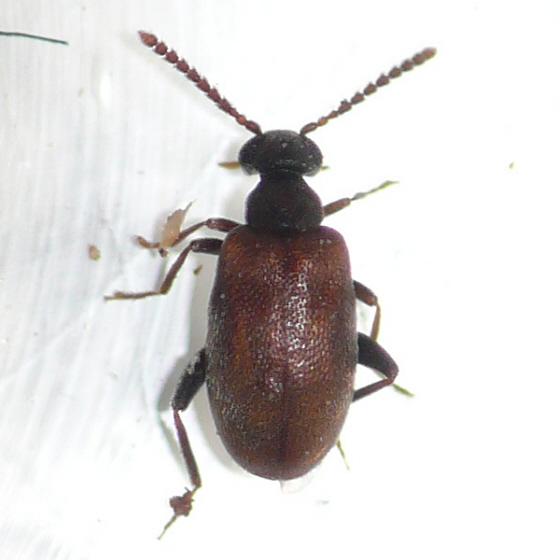 Antlike Leaf Beetles (Aderid) - Aderus brunnipennis