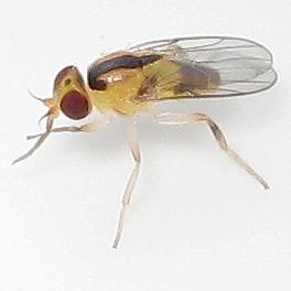 Pseudogaurax (Parasitic Chloropid Fly) - Pseudogaurax anchora