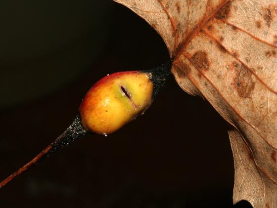 Pemphigus populitransversus, gall on cottonwood - Pemphigus populitransversus