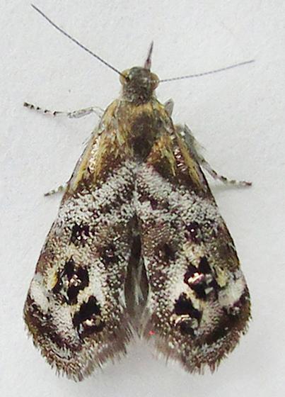 Moth - Tebenna