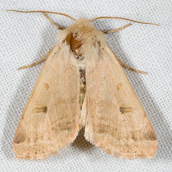 Dichagyris variabilis