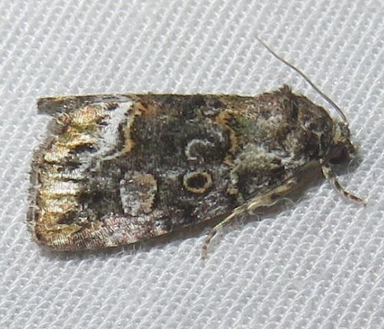 Moth - Lithacodia musta