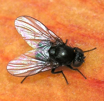 Agromyzidae Fly - Ophiomyia kwansonis