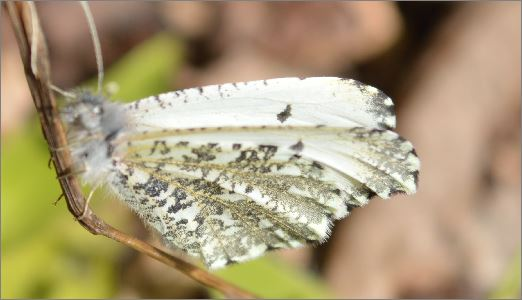 Falcate Orangetip Butterfly - Anthocharis midea - female