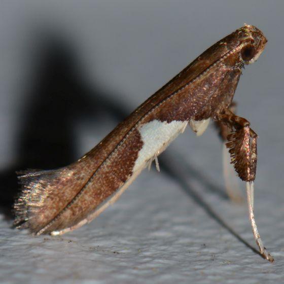 Green Triangle Moth - Caloptilia
