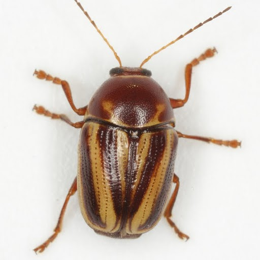 Cryptocephalus venustus Fabricius - Cryptocephalus venustus