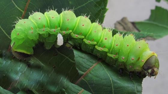 caterpillar - September 4 - Doomed:( - Actias luna