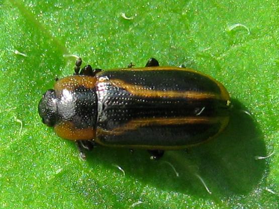 Leaf beetle in flower - Prasocuris vittata - female