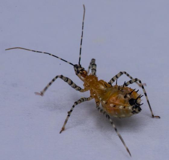 Garden Insect - Pselliopus
