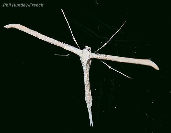 Plume moth - Emmelina monodactyla