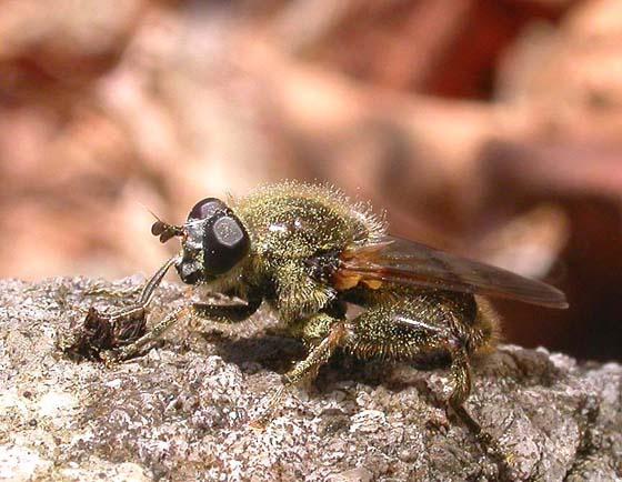 Syrphidae - Brachypalpus sp.  -- view 1 - Brachypalpus oarus - male