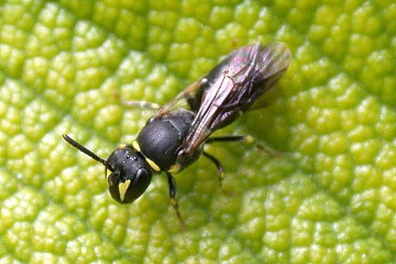 Bee Sp. Unknown - Hylaeus - female