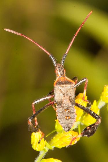 unknown Hemiptera - Leptoglossus