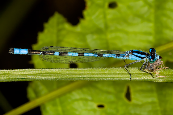 Marsh Bluet - Enallagma ebrium - male