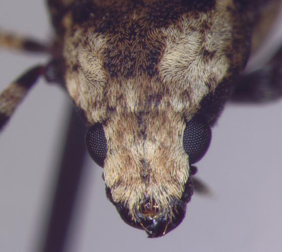 Anthribidae, head - Euparius marmoreus