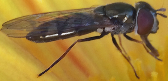 Hoverfly - Platycheirus