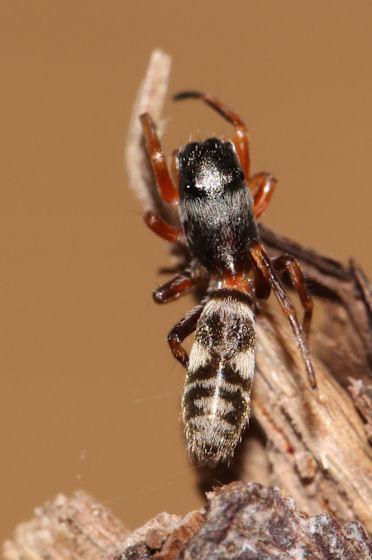 Zuniga laeta-cf - female
