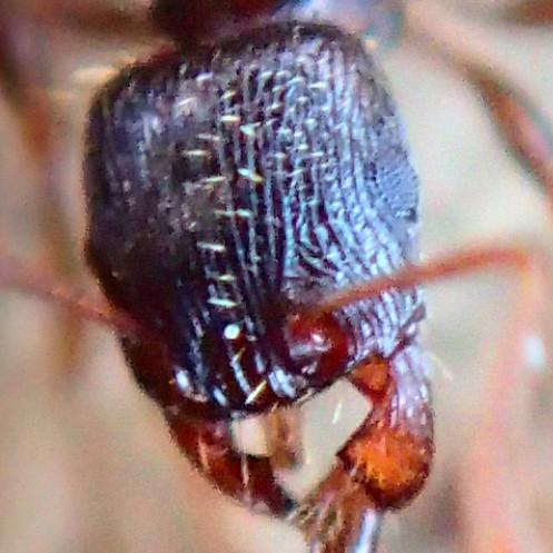 Ants - Tetramorium immigrans