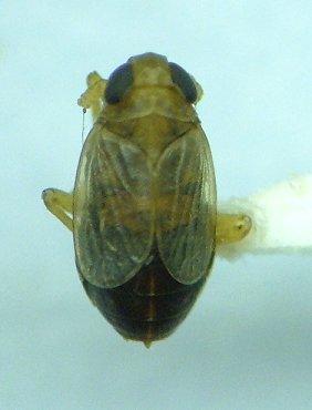 Delphacid - Kosswigianella lutulenta - male