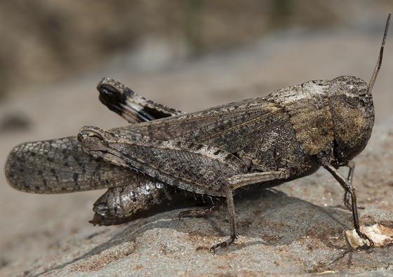 grasshopper - Arphia pseudonietana - female