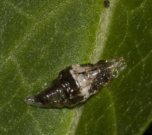 larva?