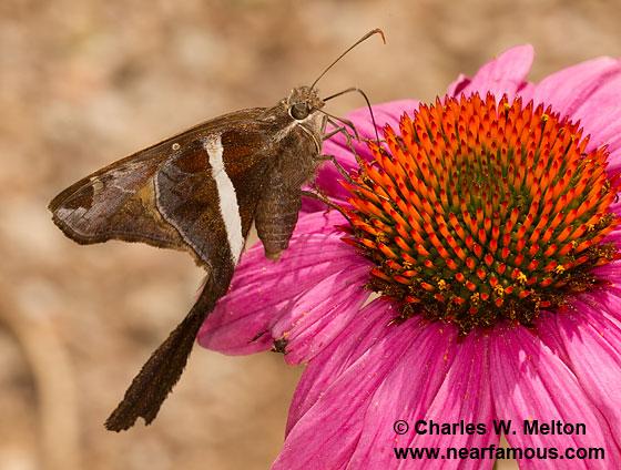 White-striped Longtail Skipper - Chioides albofasciatus