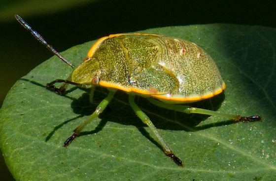 stink bug nymph - Chlorochroa