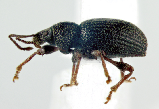 Curculonidae, lateral - Otiorhynchus ovatus