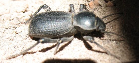 darkling beetle - Cryptoglossa muricata