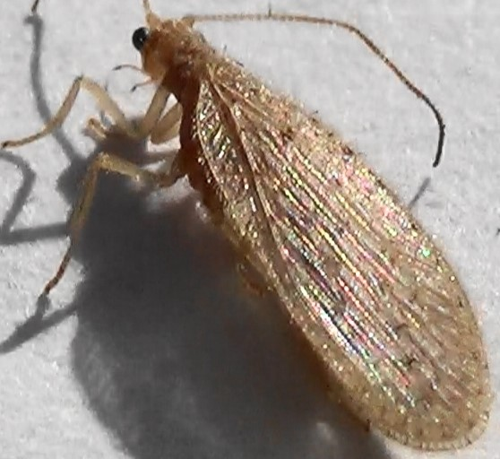 Brown Lacewing with Hairy Neck - Micromus subanticus