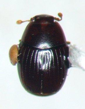 Epierus pulicarius