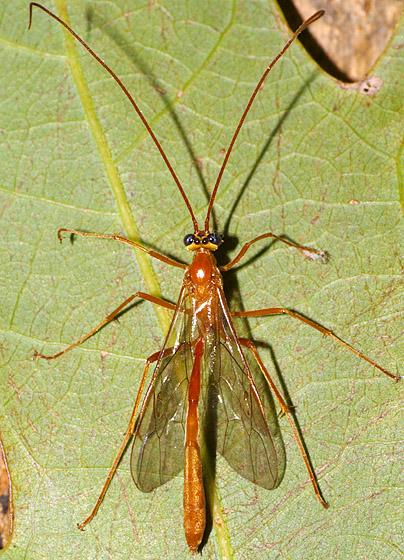 Wasp ID - Enicospilus purgatus