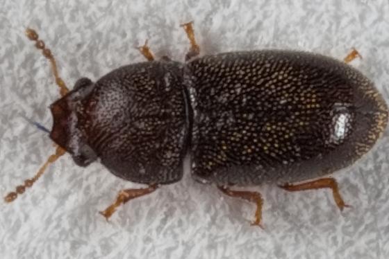 Tiny Beetle - Strigocis opacicollis