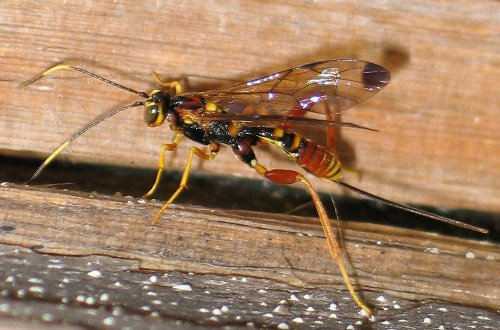 colorful wasp - Spilopteron vicinum - female