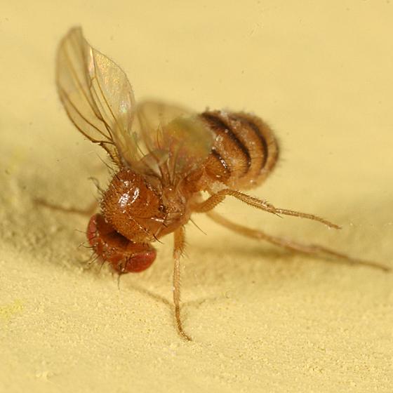 fruit fly?