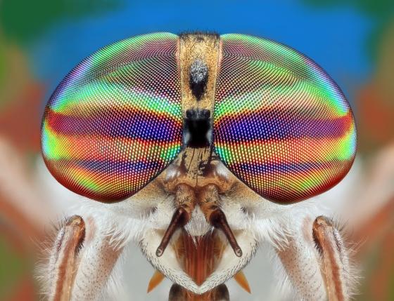 Tabanus pumilus  - Tabanus pumilus - female