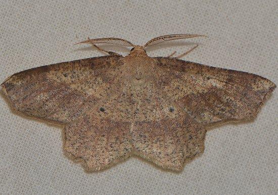 Forked Euchlaena Moth - Euchlaena pectinaria - male